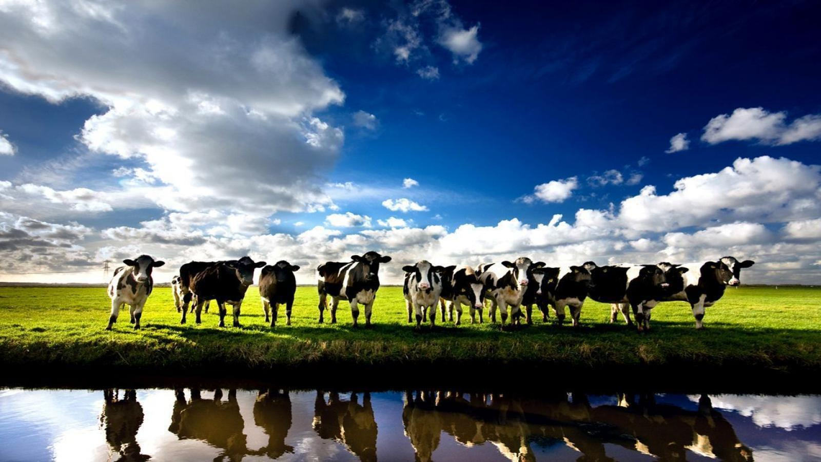 1600x900-3116059-cows-wallpapers